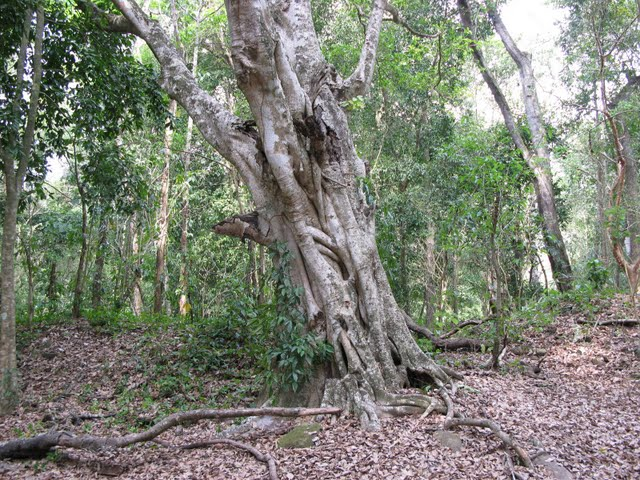 FIGURE 1. A ficus tree, source of amate bark paper.